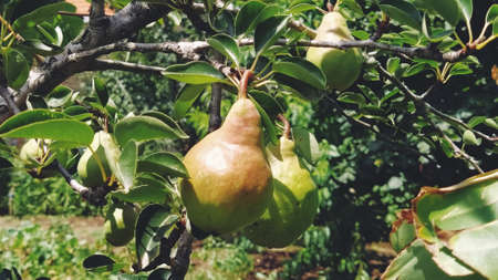 pears on a branch. Several fruit fruits, ready to be harvested and consumed. Garden plants. Ripe pear in the garden or farm.