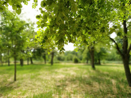 Beautiful deciduous forest. Fragrant linden flowers. Photograph taken from under a large branch of linden. Bright green foliage. Blurred bokeh in the background