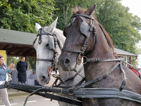 Sremska Mitrovica, Serbia, September 27, 2020, Two horses with bridles. Sled with horses. White and black horse. Sports racing or riding people in a carriage.