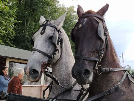 Sremska Mitrovica, Serbia, September 27, 2020, Two horses with bridles. Sled with horses. White and black horse. Sports racing or riding people in a carriage Editoriali