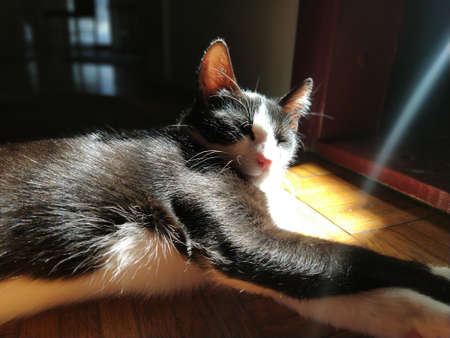 The cat is basking in the sun. A young black and white pet lies on the floor in the low sun. The kitten closed his eyes and enjoys. He pricked up his ears and controls what is happening around. 版權商用圖片