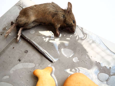 Dead mouse on glue. Mousetrap for domestic rodents. A gray mouse or rat lies bogged down in a sticky solution. Prevention of contagious diseases and food spoilage. Catching mice. Stock Photo