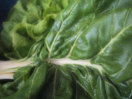 Mangold Beta vulgaris. Biennial herb, a subspecies of common beet. Fortified green lettuce leaves. Vegetarian or healthy food. Washed chard. Fresh harvested swiss chard from an organic farm