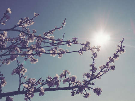 Flowers on the branches against the background of the sky and the sun. Retro style. Beautiful pink flowers and buds. Cherry, apple, plum, peach or apricot southern tree. Spring garden. Sunny weather. Foto de archivo