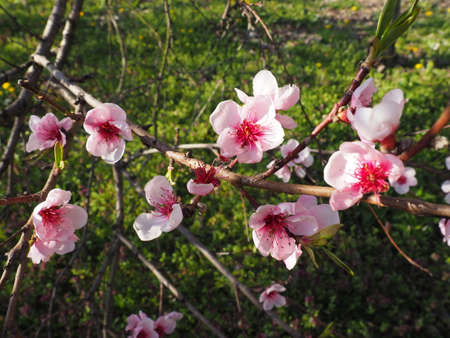 Pink flowers on the tree. Beautiful wild flowering in the spring garden. Cherry or plum branches with buds, opened petals, stamens and pistils. Agriculture and horticulture