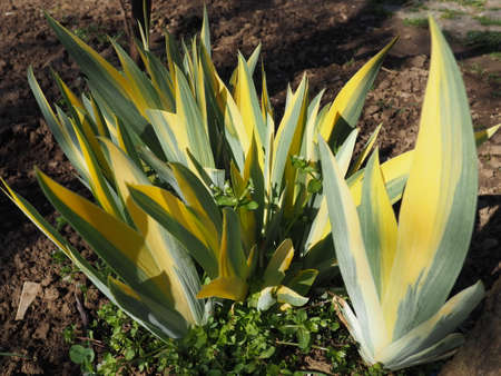 Close up of yellow-green striped leaves. Irises in the garden. Genus of perennial rhizome plants of the Iris family. Yellow green long striped leaves. Floral background. Gardening