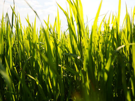 Beautiful lush green grass in the meadow or field. Winter wheat has grown on farmland. Sunny weather. Field, glade or meadow with wild vegetation. Natural background.