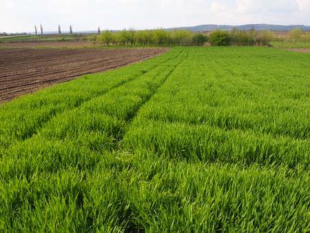 Beautiful green wheat field in countryside. Green wheat field. Green sprouts of wheat in the field. Green grass.