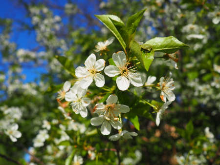 A tree blooming with white flowers. Cherry, apple, plum or sweet cherry in a flowering state. Delicate white petals. A very beautiful blooming spring garden.