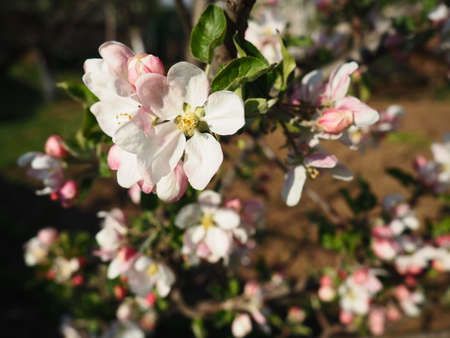 A tree blooming with white flowers. Cherry, apple, plum or sweet cherry in a flowering state. Delicate white petals. A very beautiful blooming spring garden