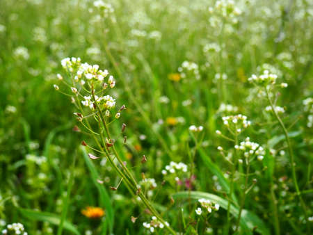 Shepherds purse plant in the meadow. Capsella bursa-pastoris. Meadow or field. Lawn in the forest. Blooming field grasses. Blooming wild meadow or pasture. Fresh green grass in spring. White flowers.