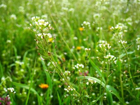 Shepherd's purse plant in the meadow. Capsella bursa-pastoris. Meadow or field. Lawn in the forest. Blooming field grasses. Blooming wild meadow or pasture. Fresh green grass in spring. White flowers Stock fotó