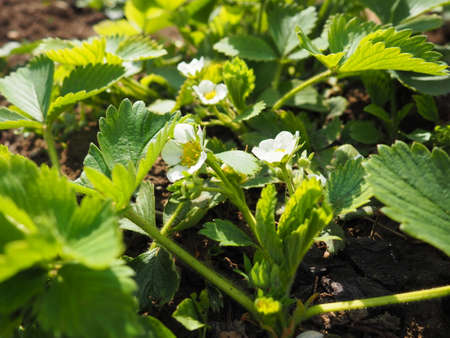Blooming strawberry garden. Blooming strawberry plant. White flowers and green leaves