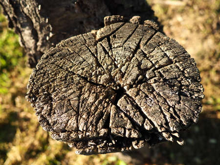Wood cut background. An old saw cut on a withered tree. Stump close-up, gray wood. Harvesting firewood from wood from fruit trees
