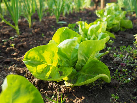 Baby lettuce growing in a field. Fresh green leaves. Plant growing and agriculture. Industrial production of vegetables on the farm. Stock fotó