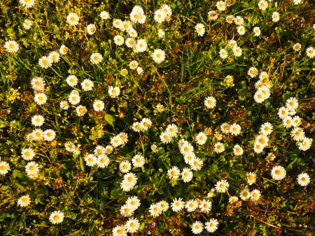 white daisy flowers. A daisy lawn, photographed from above at golden hour