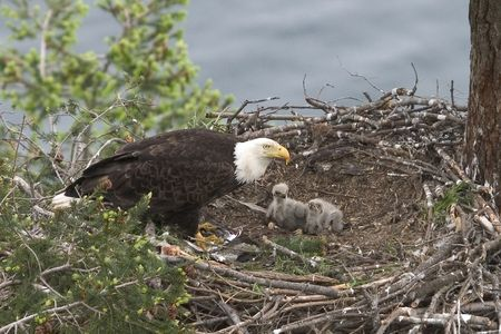 Two  eagles and one of their parents in a nest on Galiano Island, British Columbia, Canada, with water in the background. Stock Photo - 706390
