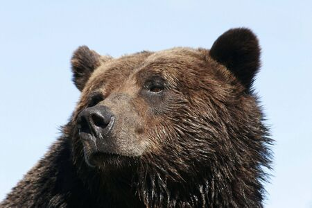 Head shot of a grizzly bear, with slightly wet fur, against a light blue, clear sky; taken in British Columbia. photo
