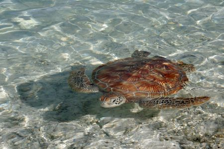 A green sea turtle, with its lovely brown shell, leisurely swims in the clear waters of a Bora Bora lagoon.