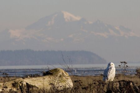 mount baker: A snowy owl perches on a stump in the marsh of Boundary Bay, British Columbia, Canada, with Mount Baker in the background.