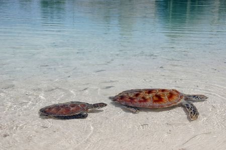 leisurely: A pair of endangered green sea turtles leisurely swim in the clear waters of a Bora Bora lagoon.