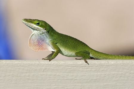 A bright green gecko, the good luck lizard of Hawaii, sits on a railing with its colorful throat sac extended and looks sideways with its blue rimmed eye. Stock Photo - 781959