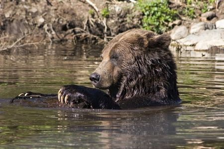 Its a sunny day for play -- a grizzly bear in a pool hangs onto a log with its long claws. Taken in southern British Columbia. Banco de Imagens