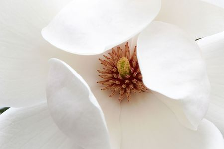 curving: A white magnolia blossom with a starburst centre and large, curving petals.