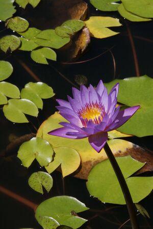 mares: A p�rpura brillante flor de lirio de agua y verde lirio almohadillas en los Mares del Sur un jard�n acu�tico.