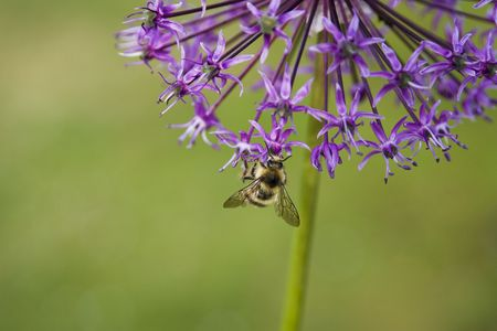 pollinator: A bee on a purple allium flower; soft green background.