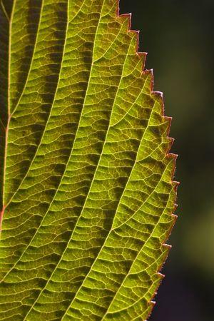 詳細な脈のクローズ アップとバックライト付きガマズミ属の木葉の端のギザギザします。 写真素材
