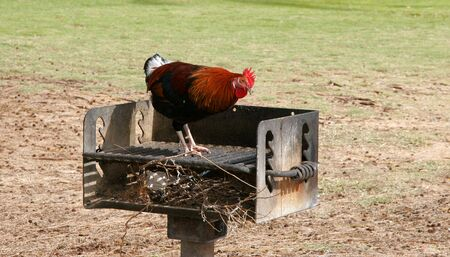 One of Kauais brightly coloured wild chickens checks out a barbeque station in a park.