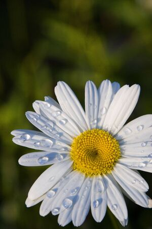 cheery: Raindrops on the petals of a cheery daisy after a summer shower; green background.