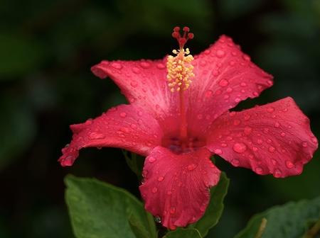 Hibiscus rosa sinensis. Stock Photo