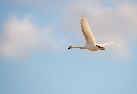 Flying whooper swan. (Cygnus cygnus) photo