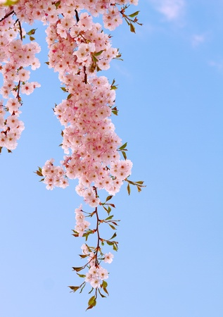 Japanese cherry tree with pink delicate flowers.