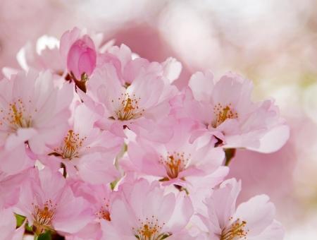 Romantic cherry flowers in springtime.
