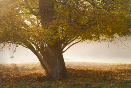 Tree on a foggy autumn morning.
