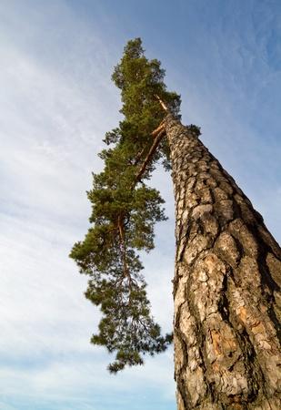 pinus sylvestris: Pine tree. (Pinus Sylvestris)