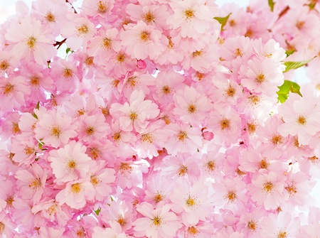 Romantic cherry flowers blooming in spring. Stock Photo - 12391731