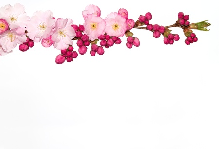 Branch of Japanese Cherry tree flowers isolated on white. photo