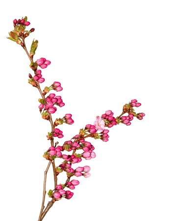 Delicate pink cherry flower buds, isolated on white. photo