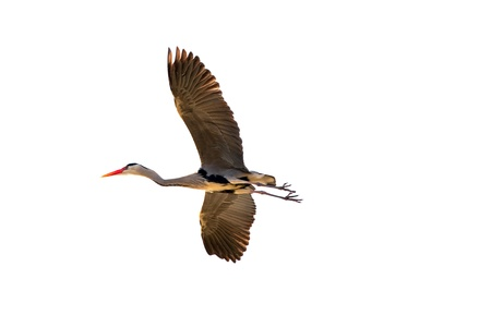 ardea cinerea: Flying Grey Heron, Ardea cinerea isolated on white. Stock Photo