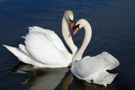 animal mating: Romantic swan couple in springtime.