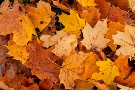 Orange and yellow maple leaves in autumn