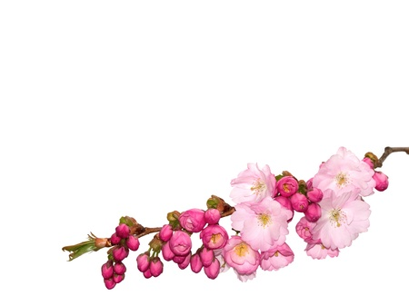 Beautiful pink cherry-flowers isolated on white. photo