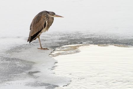 cinerea: Grey Heron, Ardea cinerea in winter.