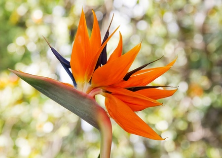 perennial: Strelitzia Reginae, perennial native to South Africa