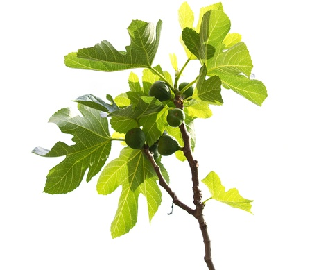 Isolated branch of a fresh green Common fig tree with fruit. Ficus carica.