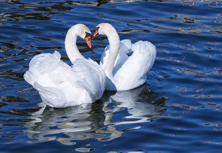 Lovely white swan couple mating in spring  photo